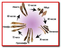 жизненный цикл клеща Demodex